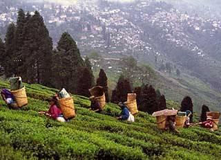 Darjeeling – Tea Gardens, Toy Train, and More
